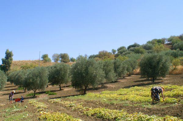 Veduta di insieme dell'orto e di alcuni giovani alberi d'ulivo