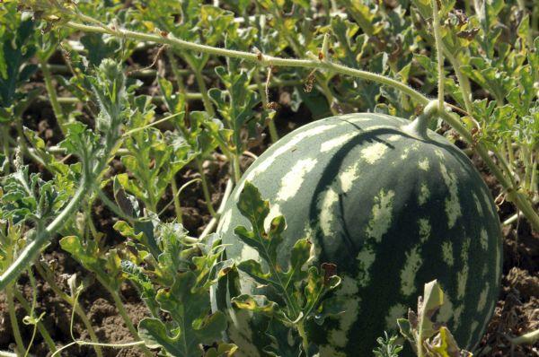 Anguria biologica siciliana nell'orto