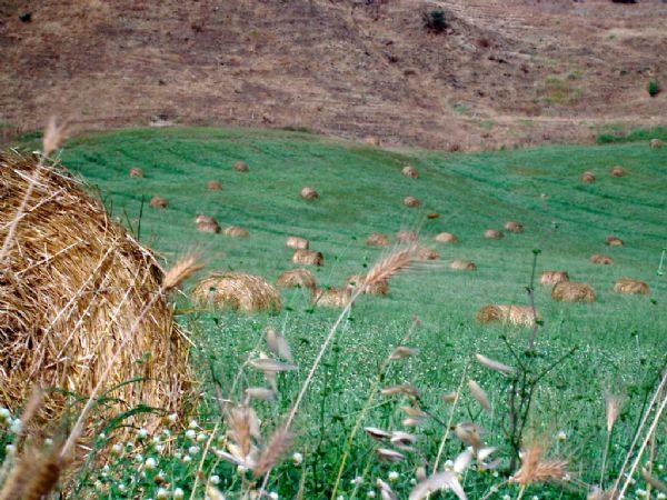 un campo di grano con le balle di fieno