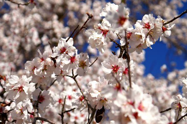 Il mandorlo in fiore delle campagne siciliane. Agriturismo in campagna