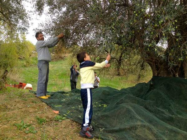 raccolta di olive siciliane come si faceva un tempo