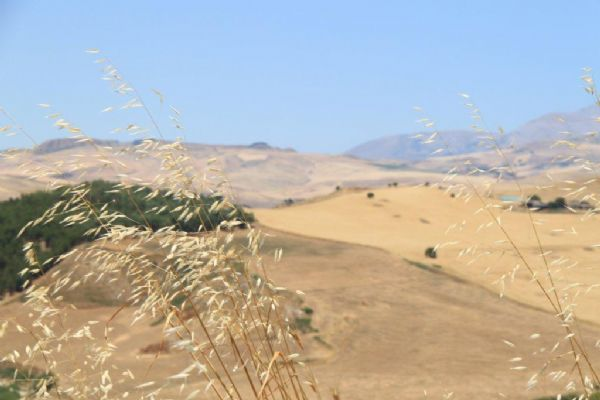 Campo di grano con steli in primo piano